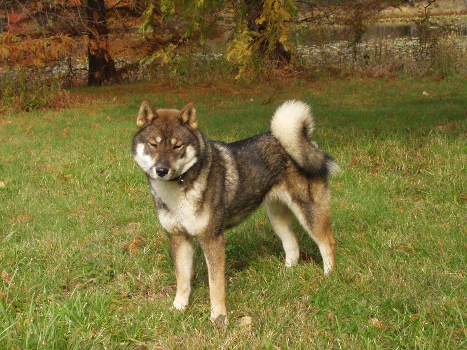 Koga Dog Breed